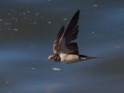 swallow flies over water
